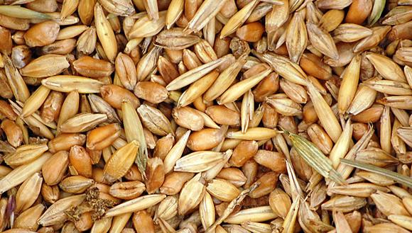 Variedades de trigo