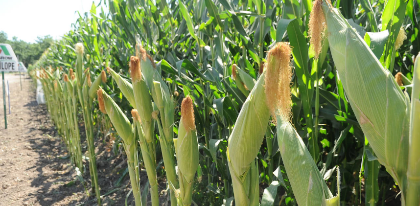 Plantaciones de Maiz
