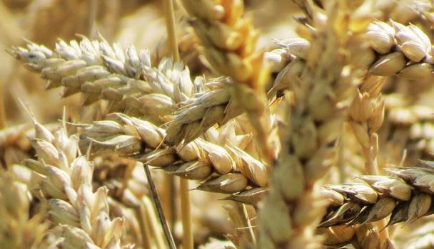 propiedades-curativas-del-trigo