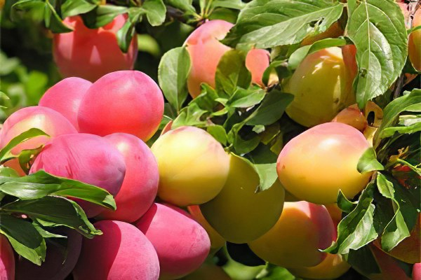 Las variedades de Alycha
