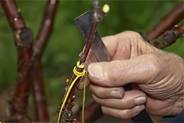 Injertar una ciruela de cereza