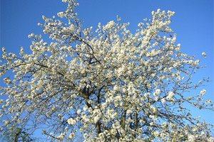 Donde crece la ciruela cereza
