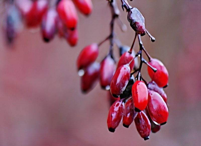 aplicación de barberry